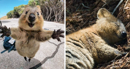 Quokkas Are The Happiest Animals In The World Vicious Kangaroo - 15 photos that prove quokkas are the happiest animals in the world